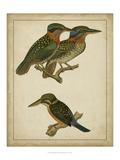 Vintage Kingfishers III Posters