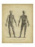 Anatomy Study III Print by Jack Wilkes