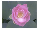 Blushing Lotus I Premium Giclée-tryk af Jim Christensen