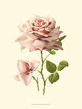 Victorian Rose I Prints by R. Guillot