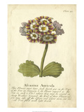 Non-Embellished Vintage Auricula II Giclee Print by  Vision Studio