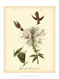John James Audubon - Ruff-neck Hummingbird - Reprodüksiyon