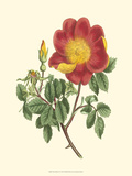 Vibrant Blooms IV Poster by Sydenham Teast Edwards