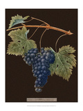 Brookshaw Purple Grapes Prints by George Brookshaw
