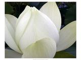 Delicate Lotus IV Premium Giclée-tryk af Jim Christensen