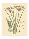 Blushing Pink Florals VIII Posters av  John Miller (Johann Sebastien Mueller)