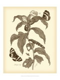 Nature Study in Sepia I Poster af Maria Sibylla Merian