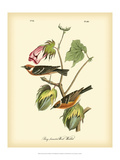 Bay Breasted Wood-Warbler Plakater af John James Audubon