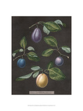Plums Prints by George Brookshaw