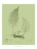 Fresh Ferns II Giclee Print by Samuel Curtis