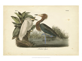 Audubon's Reddish Egret Posters by John James Audubon