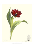 Tulip II Giclee Print by James Linton Sain