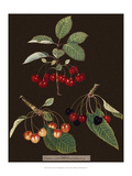 Brookshaw Cherries Print by George Brookshaw