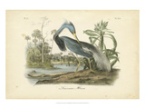 Audubon's Louisiana Heron Giclee Print by John James Audubon