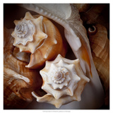 Macro Shells III Prints by Rachel Perry
