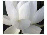 Delicate Lotus V Premium Giclée-tryk af Jim Christensen