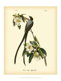 John James Audubon - Fork-Tailed Flycatcher - Reprodüksiyon