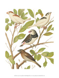 Canaries and Cage Birds II Prints by  Cassel
