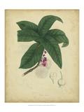 Engelmann Botanical V Affiche par  Engelmann