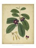 Engelmann Botanical IV Affiches par  Engelmann