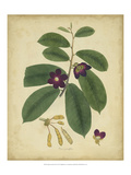 Engelmann Botanical IV Giclee Print by Engelmann 
