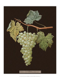 Brookshaw White Grapes Poster by George Brookshaw