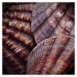 Macro Shells V Prints by Rachel Perry