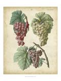 Calwer Grapes II Prints by  Calwer