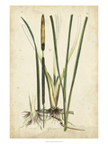 Antique Cattail II Print by Samuel Curtis