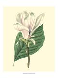 Yulan Magnolia Art