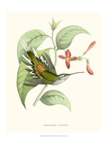 Hummingbird and Bloom III Poster by  Mulsant & Verreaux