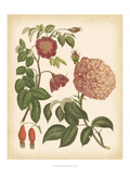 Antique Rose IV Posters