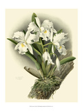 Dramatic Orchid I Giclee Print by Chas Storer