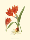 Striking Lilies IV Prints by Edward Step