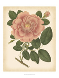 Antique Rose I Prints