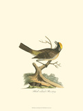 Black-Crowned Bunting Posters