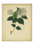 Engelmann Botanical VI Prints by  Engelmann