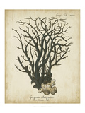 Esper Antique Coral I Prints by Johann Esper