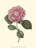 Camellia Blooms III Posters by J.J. Jung