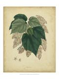 Engelmann Botanical VII Poster by  Engelmann