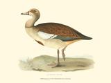 Egyptian Goose Art