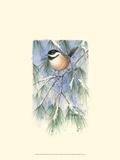 Chickadee in White Pine Affiches par Janet Mandel