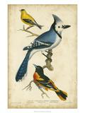 Wilson's Blue Jay Poster par Alexander Wilson