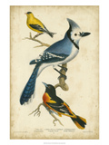 Wilson's Blue Jay Poster by Alexander Wilson