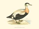 Eider Duck Prints
