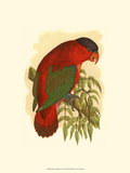 Purple-Capped Lory Stampa