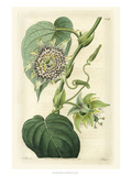 Antique Passionflower I Poster by M. Hart