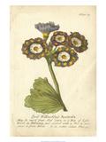 Non-Embellished Vintage Auricula I Kunstdrucke von  Vision Studio