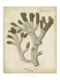 Esper Antique Coral II Posters by Johann Esper