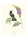 Hummingbird and Bloom II Prints by  Mulsant & Verreaux
